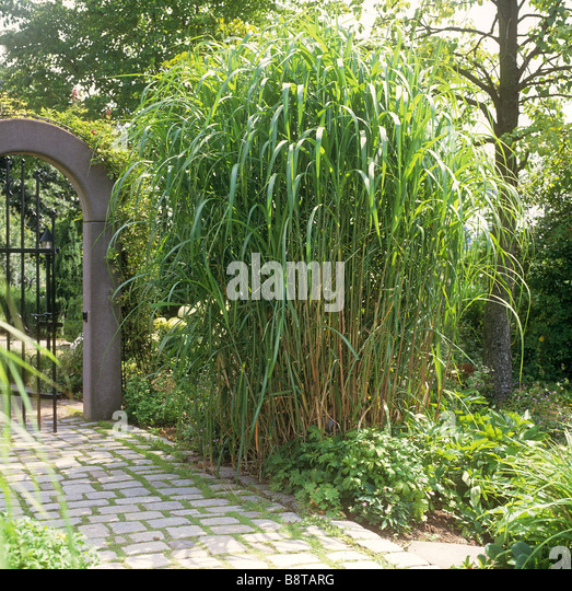 miscanthus sinensis giganteus stock photos miscanthus sinensis giganteus stock images alamy. Black Bedroom Furniture Sets. Home Design Ideas