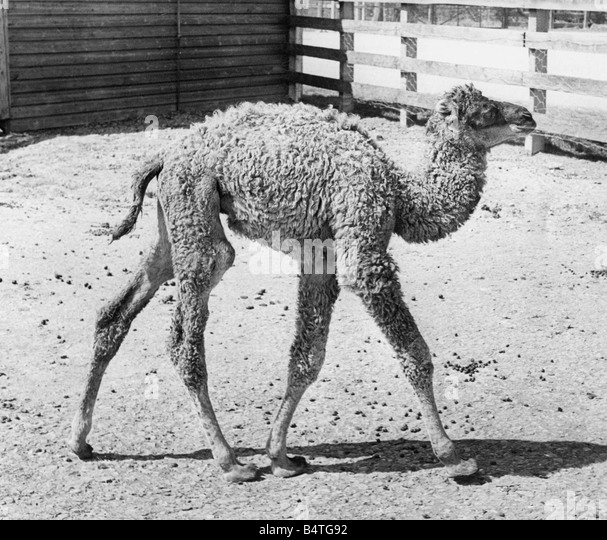 Lambton black and white stock photos images alamy for Camel motors on park and ajo