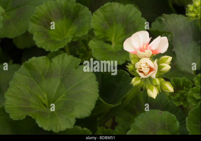 Pelargonium zonale stock photos pelargonium zonale stock for Geranio zonale