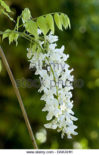 Chinese white flower images flower decoration ideas white chinese wisteria stock photos white chinese wisteria stock chinese wisteria wisteria sinensis with white flowers mightylinksfo