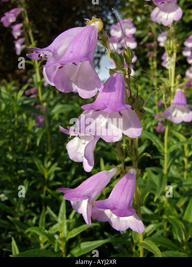 Bell shaped purple flowers stock photos bell shaped purple flowers penstemon purple and white bell shaped flowers stock image mightylinksfo