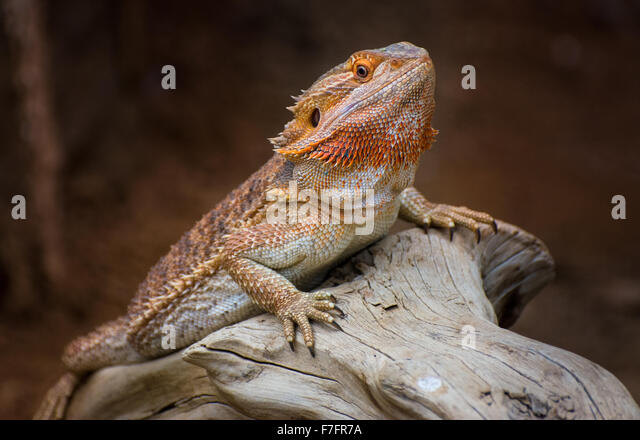 Bearded Dragon Stock Photos Amp Bearded Dragon Stock Images