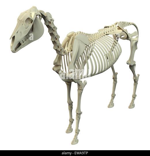 Horse bone anatomy