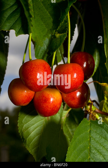 cherry tree latin singles Ultimately from late latin ceresia, perhaps from latin cerasus cherry tree,  cherry - a red fruit with a single  i saw up in my cherry tree one.