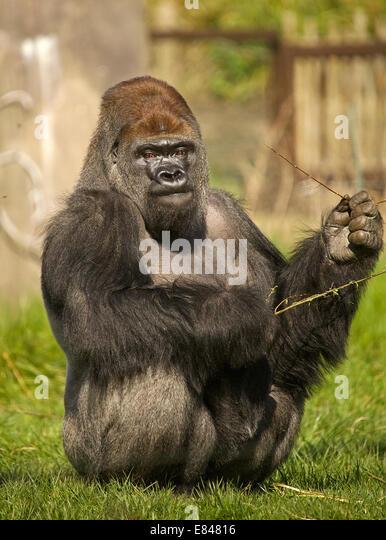 Gorilla Playing - image 9