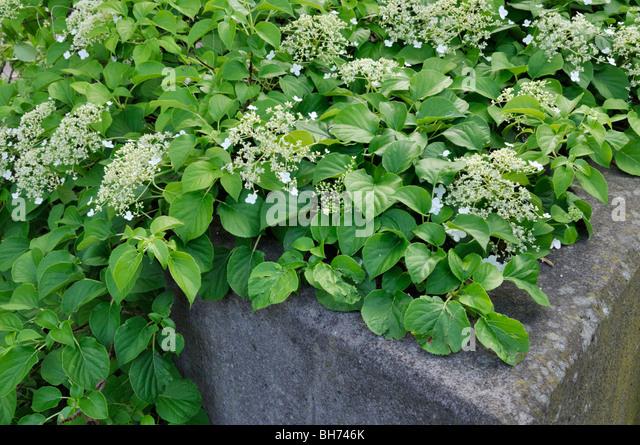 Hydrangea anomala subsp petiolaris stock photos - Hydrangea petiolaris ...