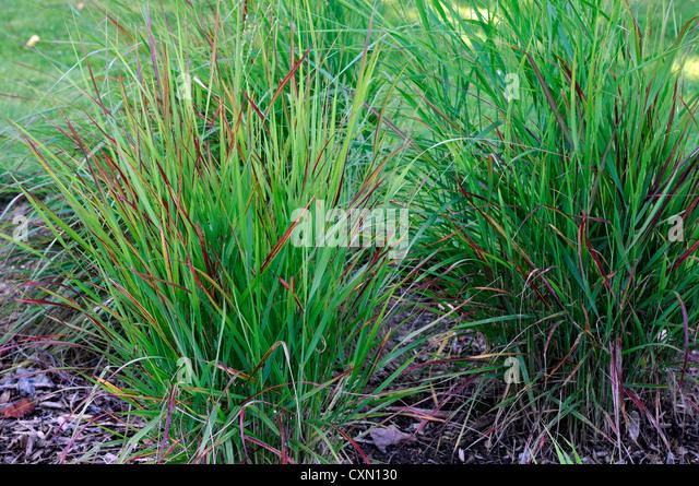 Panicum virgatum rotstrahlbusch stock photos panicum for Green ornamental grass