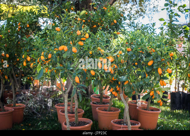 kumquat trees in plant nursery many plants in vase for sale in store stock