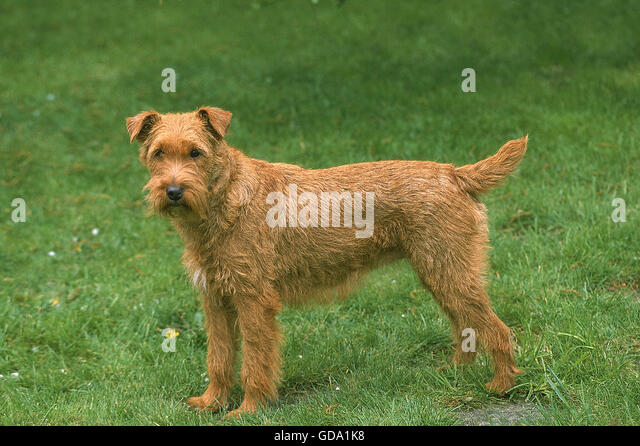 adult irish terrier