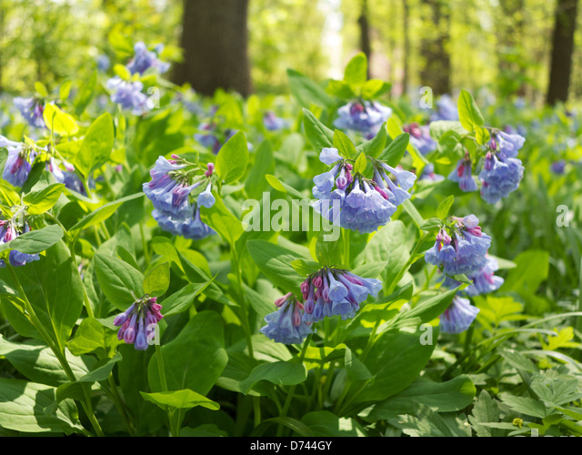 Mertensia Stock Photos Mertensia Stock Images Alamy