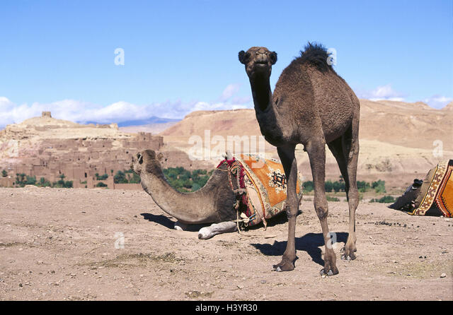 How Do a Camel's Hooves Help It?