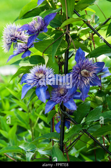 blue stamens stock photos blue stamens stock images alamy. Black Bedroom Furniture Sets. Home Design Ideas