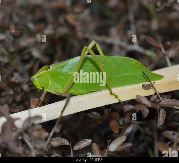leaf insect camouflage - photo #10