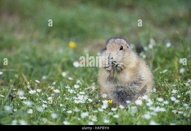 Alt National Park Prairie Dog