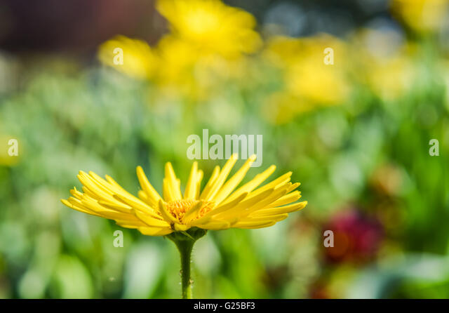 yellow aster stock photos  yellow aster stock images  alamy, Beautiful flower