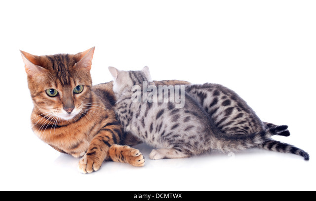 Bengal cat and kitten