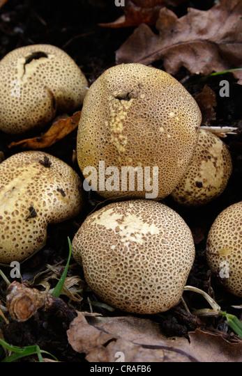 Scleroderma areolatum fungus stock photos amp scleroderma areolatum