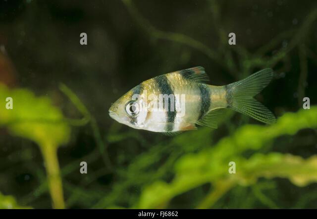 sumatra-barb-tiger-barb-puntius-tetrazona-barbus-tetrazona-swimming ...
