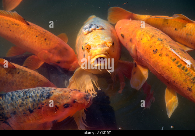 Koi karpfen stock photos koi karpfen stock images alamy for Cyprinus carpio koi