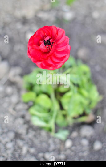 asian buttercup red flower - photo #8