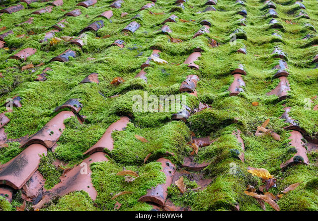 Green Moss Growing On House Roof Tiles   Stock Image