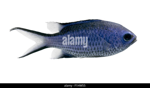 Ichthyology stock photos ichthyology stock images alamy for Blue fin fish