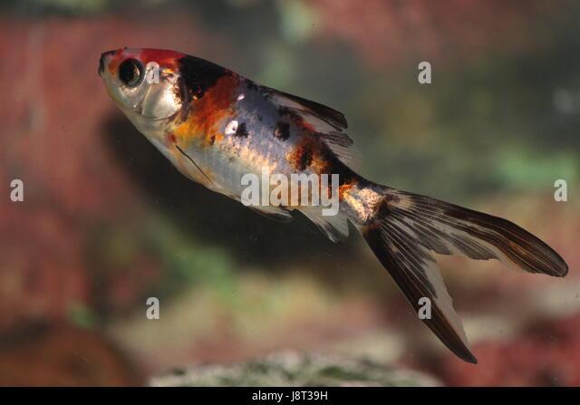 Shubunkin stock photos shubunkin stock images alamy for Ornamental carp fish