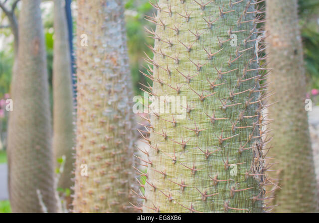 Thorn Trees Stock Photos Thorn Trees Stock Images Alamy