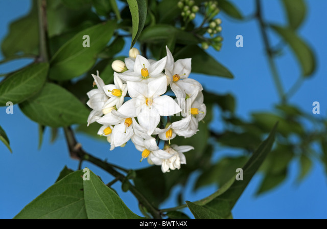 potato vine solanum jasminoides stock photos potato vine. Black Bedroom Furniture Sets. Home Design Ideas
