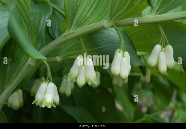 Solomons Seal Flower