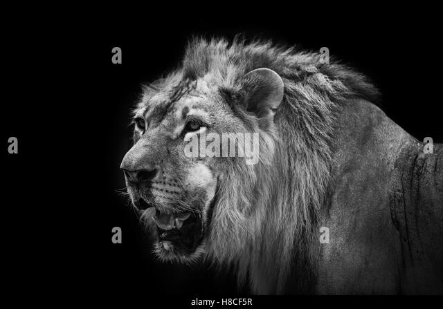 African Lion Black and White Stock Photos & Images - Alamy