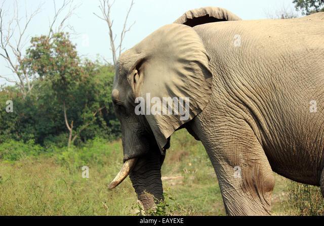 proboscidea new delhi india elephant stock photos new delhi india elephant