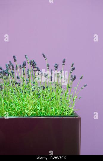 lavender plant pot stock photos lavender plant pot stock images alamy. Black Bedroom Furniture Sets. Home Design Ideas