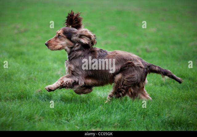dog running spaniel stock photos amp dog running spaniel