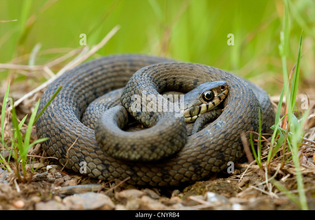 Snake Coiled Up