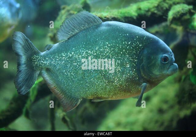 Black Piranha Stock Photos & Black Piranha Stock Images ...