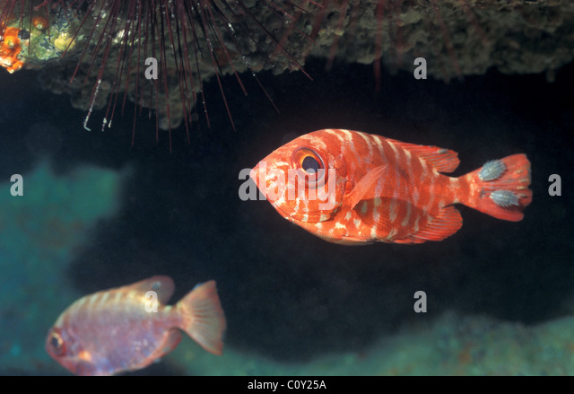 cymothoid isopod and snapper fish relationship site