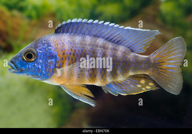 Red-shoulder Malawi peacock cichlid, Aulonocara Fort Maguire ...
