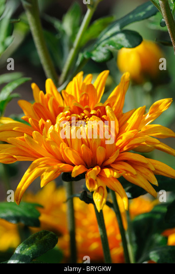 orange annual flowers stock photos  orange annual flowers stock, Beautiful flower