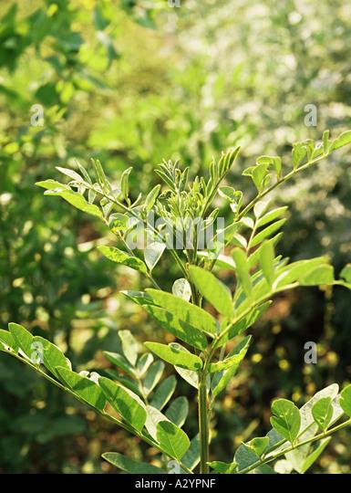 Liquorice Plant Glycyrrhiza glabra