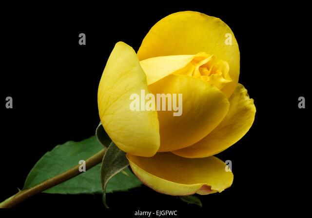 Yellow Rose Of Texas Stock Photos & Yellow Rose Of Texas ...