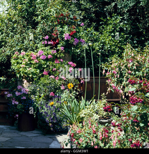 Patio   With Annuals In Containers Including Fuchsias Pelargoniums Lobelia  Salvia Begonia And Rudbeckia PHS0268