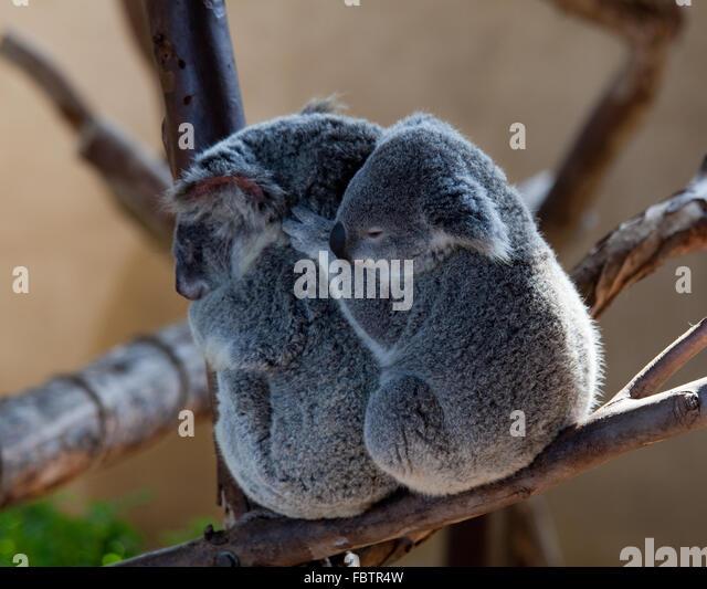 Koala Bears Stock Photos  Koala Bears Stock Images  Alamy