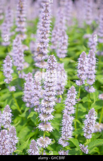 giant hyssop blue fortune - photo #22