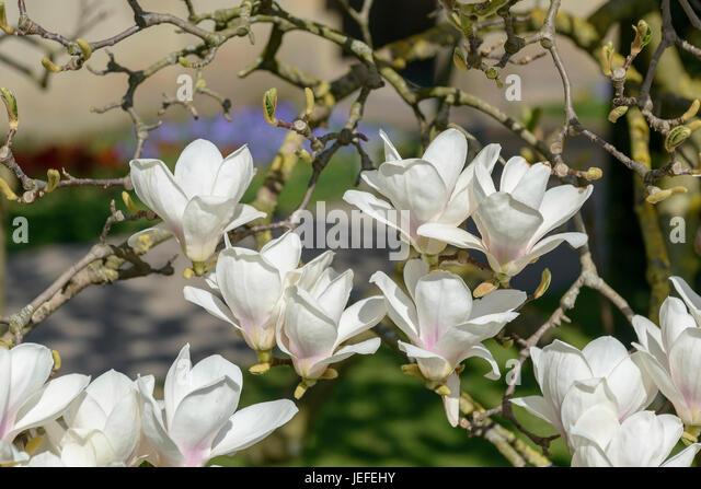 tulip magnolia magnolia soulangeana amabilis stock photos tulip magnolia magnolia soulangeana. Black Bedroom Furniture Sets. Home Design Ideas