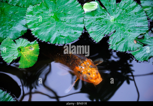 Koi and lily pads stock photos koi and lily pads stock for Koi pond color