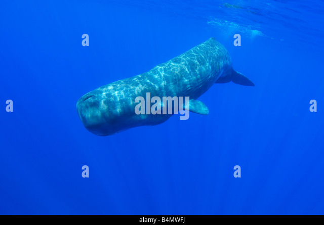 Catodon physeter sperm whale