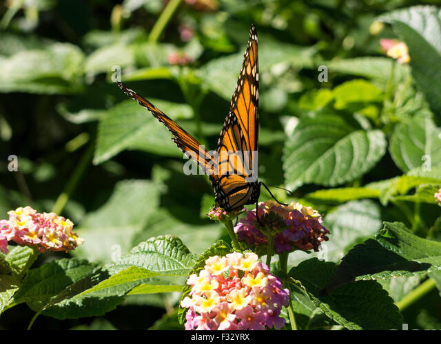 Monarch Butterfly In The Fragrance Garden, The Brooklyn Botanic Garden, NYC,  USA