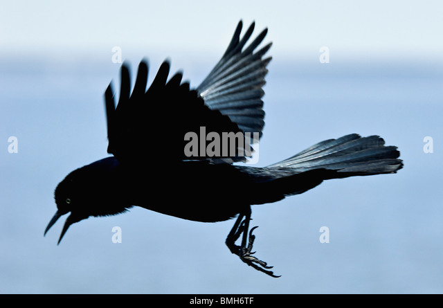 Boat Tailed Grackle Stock Photos & Boat Tailed Grackle ...  Boat Tailed Gra...