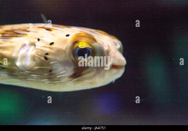Holocanthus stock photos holocanthus stock images alamy for Fish eye skin